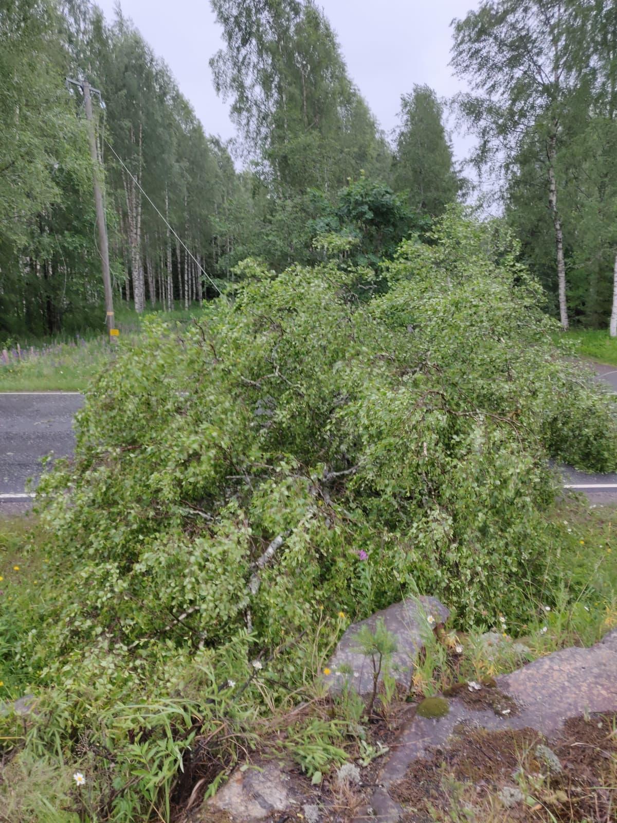 Kaatunut puu.