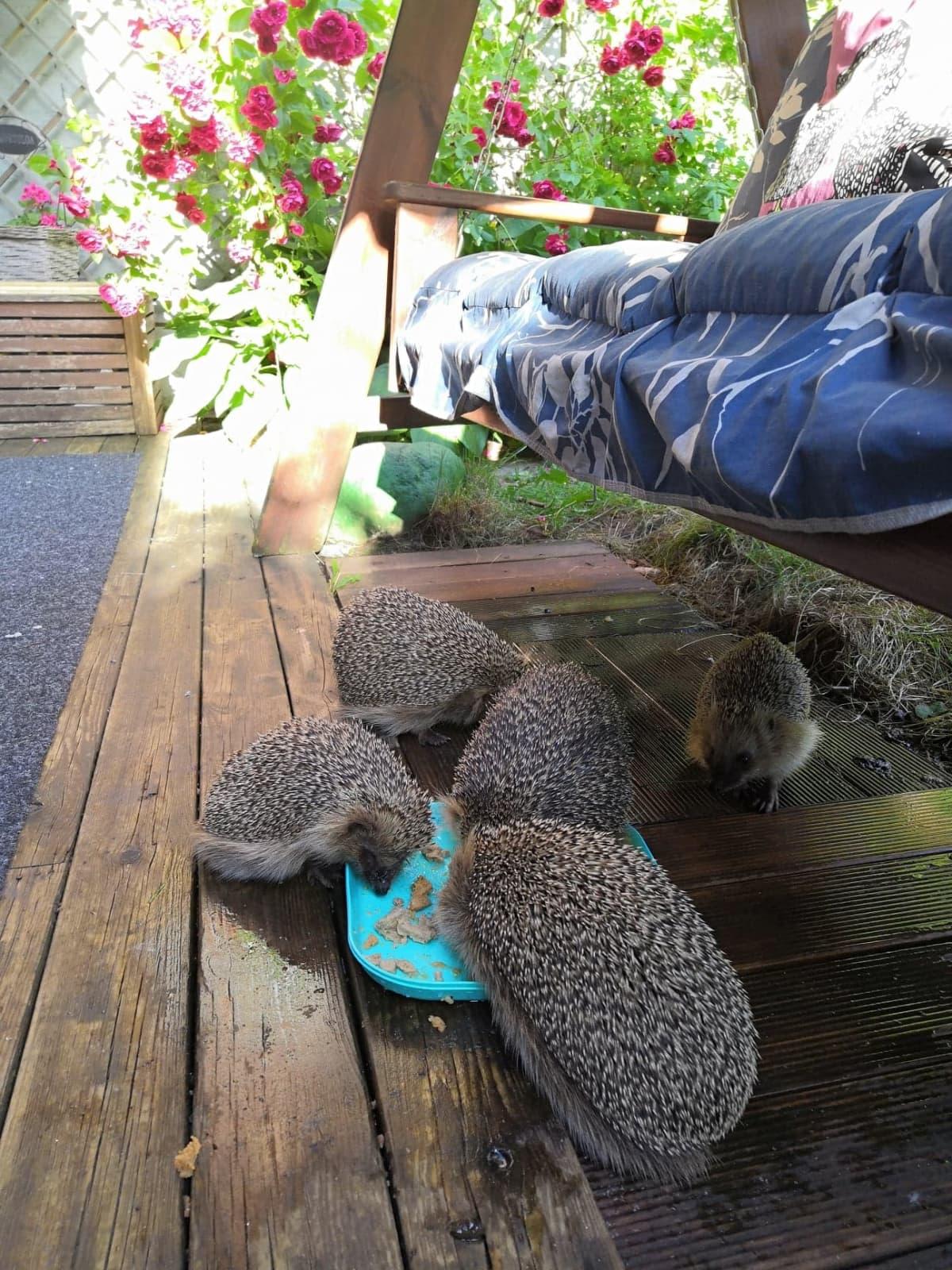 Siilejä syömässä helsinkiläisessä pihassa.