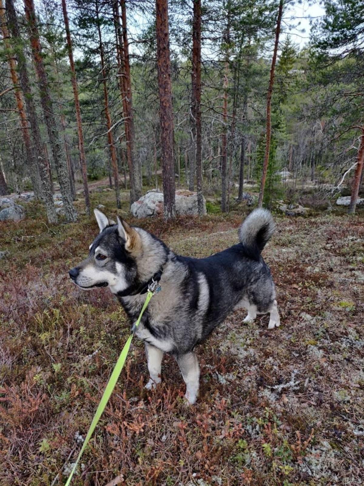 Jalo-koira metsässä.