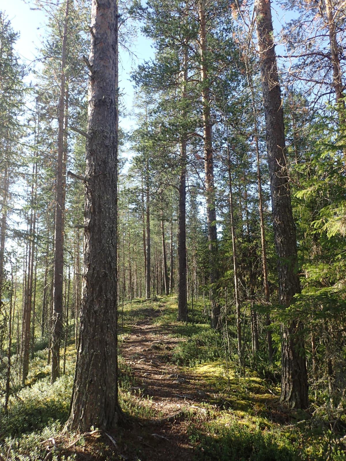 Mäntyvaltaista metsää Laukkujoen varressa Pellon kunnassa Länsi-Lapissa.