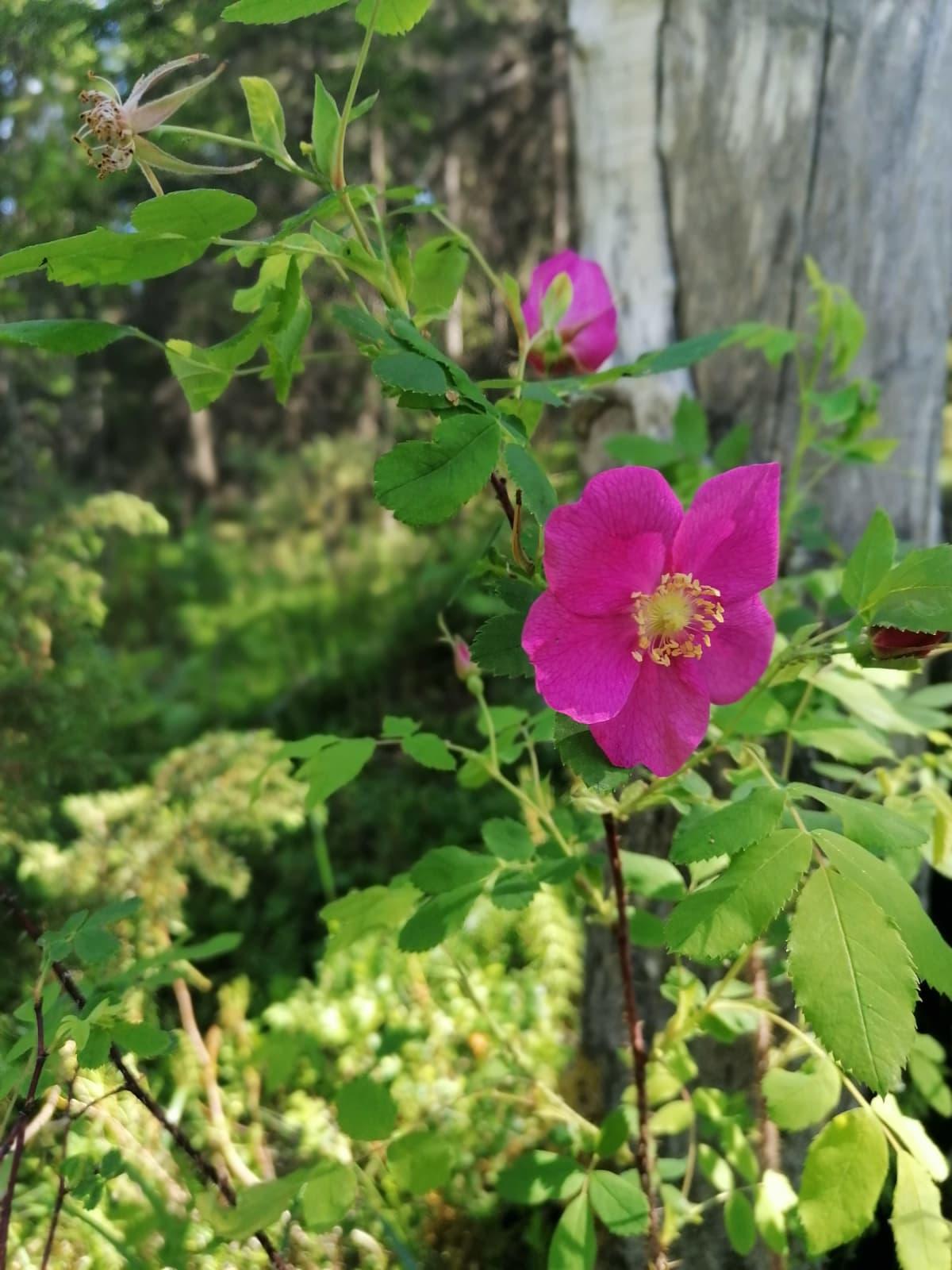 Karjalanruusun herkkä vaaleanpunainen kukka.