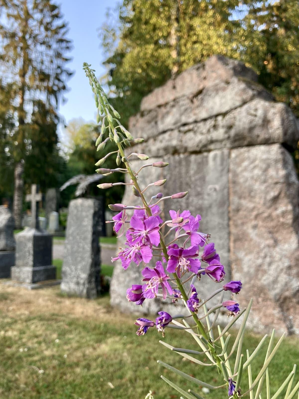 Kukkia Kalevankankaan hautausmaan vanhojen kivien välissä