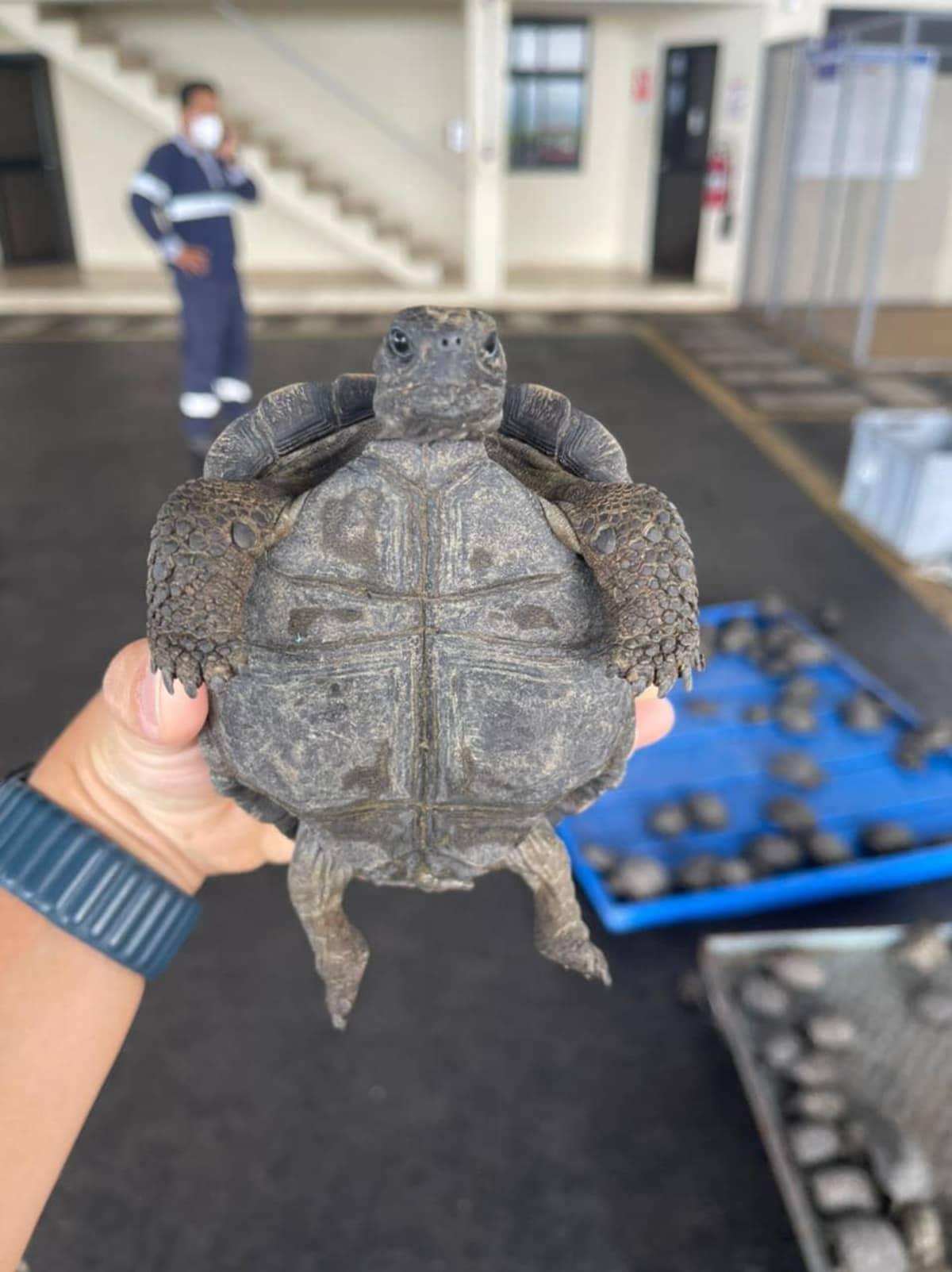 henkilö pitelee kilpikonnaa, lähikuva
