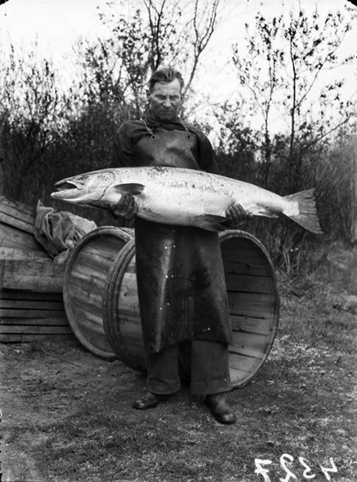 Kellolaisten kalastajien Oulunjokisuulla olleesta rysästään saama jättiläismäinen lohi 28,5 kg, 8.6. 1944.