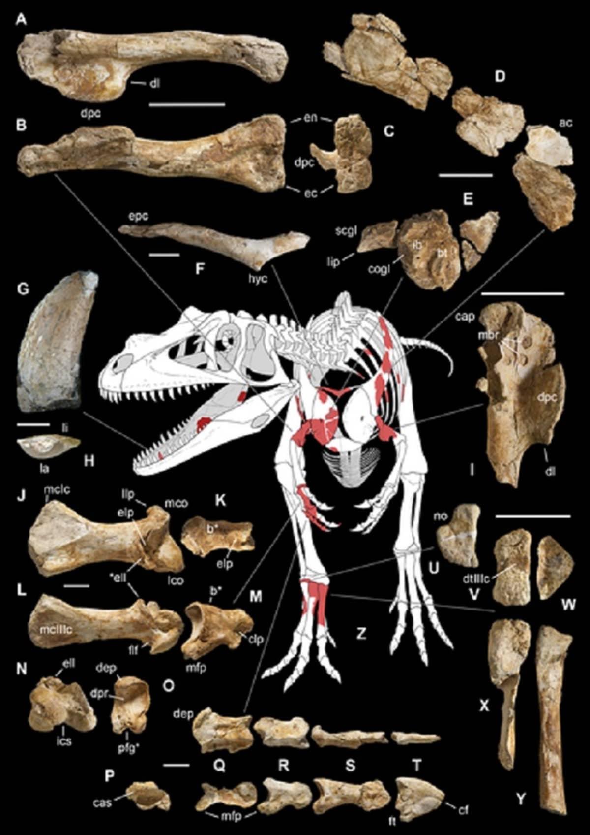 Kaaviokuvassa valokuvat luunkappaleista ja piirros dinosauruksen luurangosta