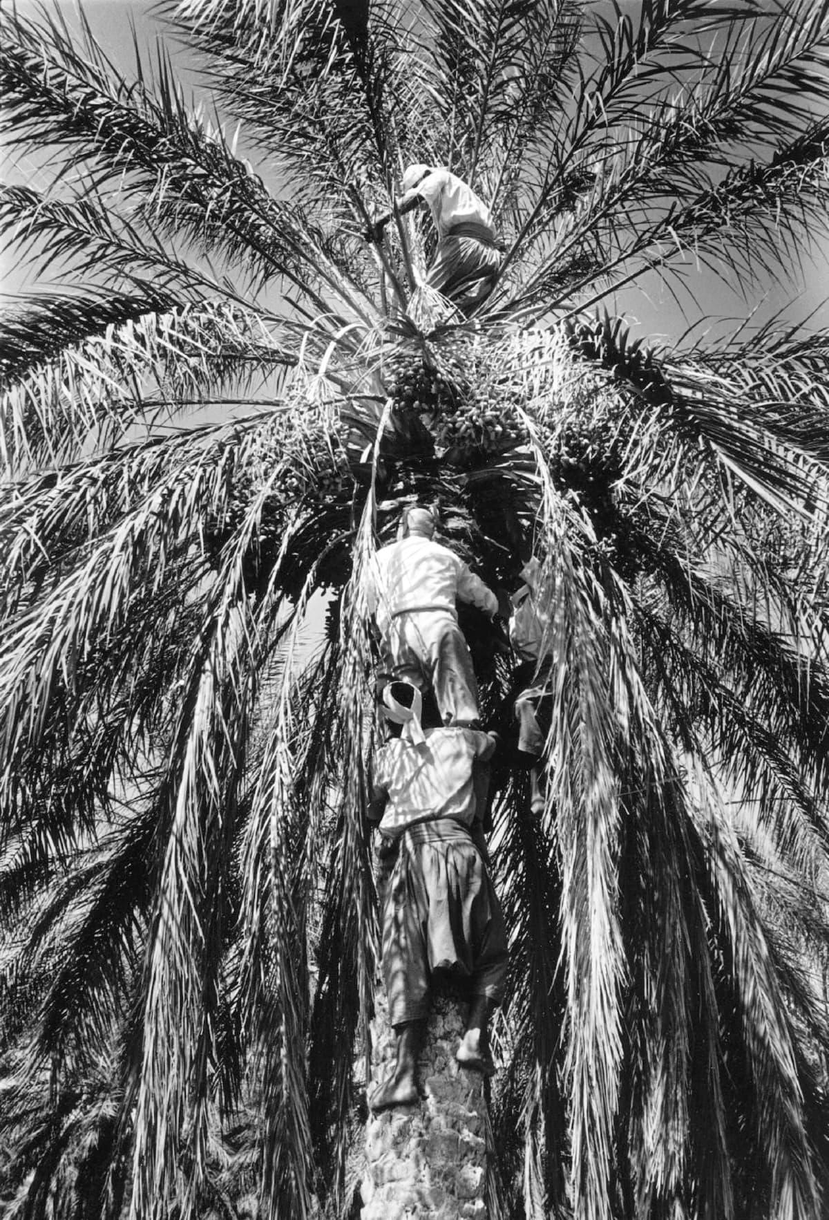 Urho Kekkonen kiipeää palmuun Tunisiassa.
