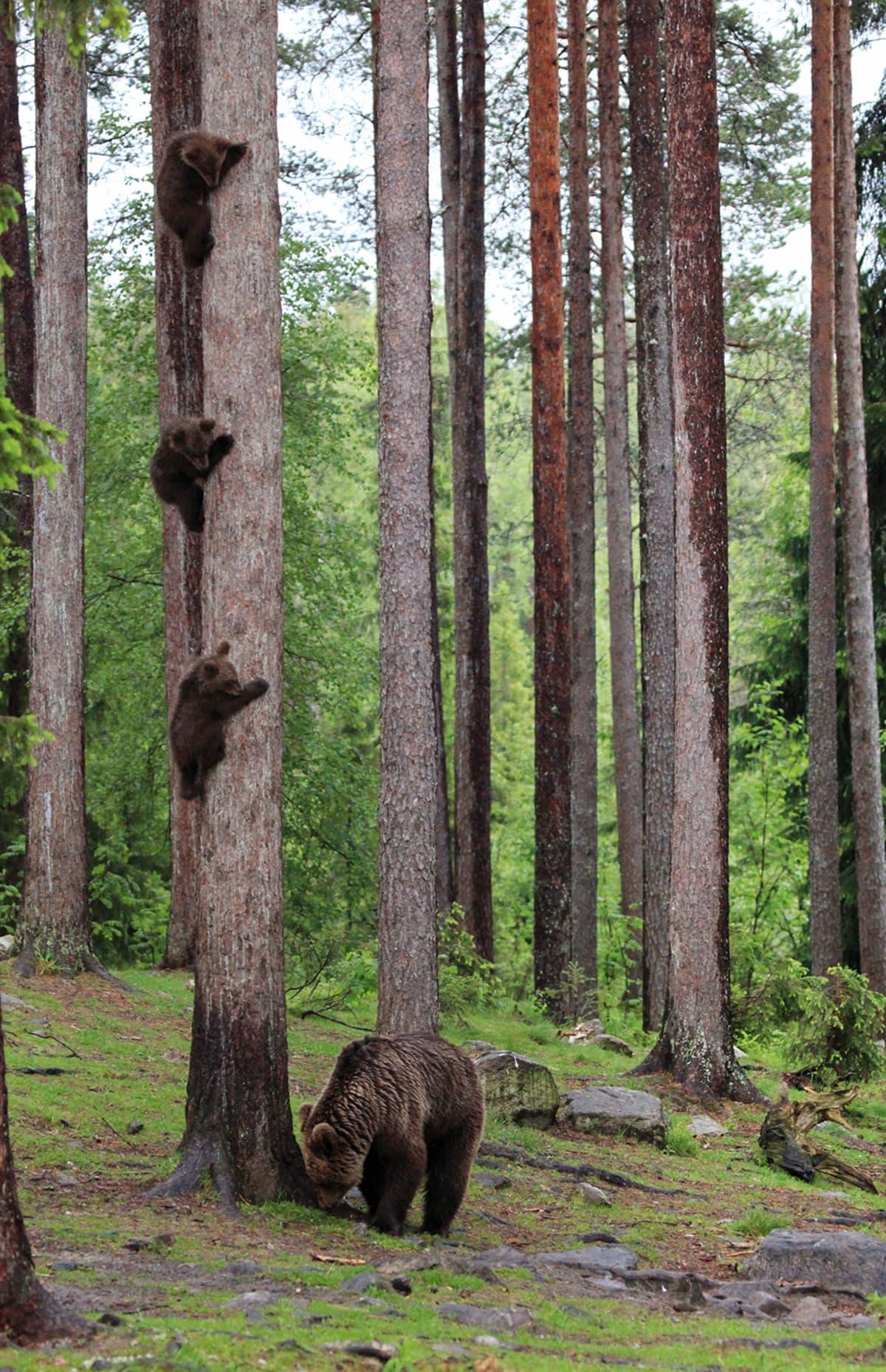 Kolme karhunpoikasta kiipeää männynrungossa
