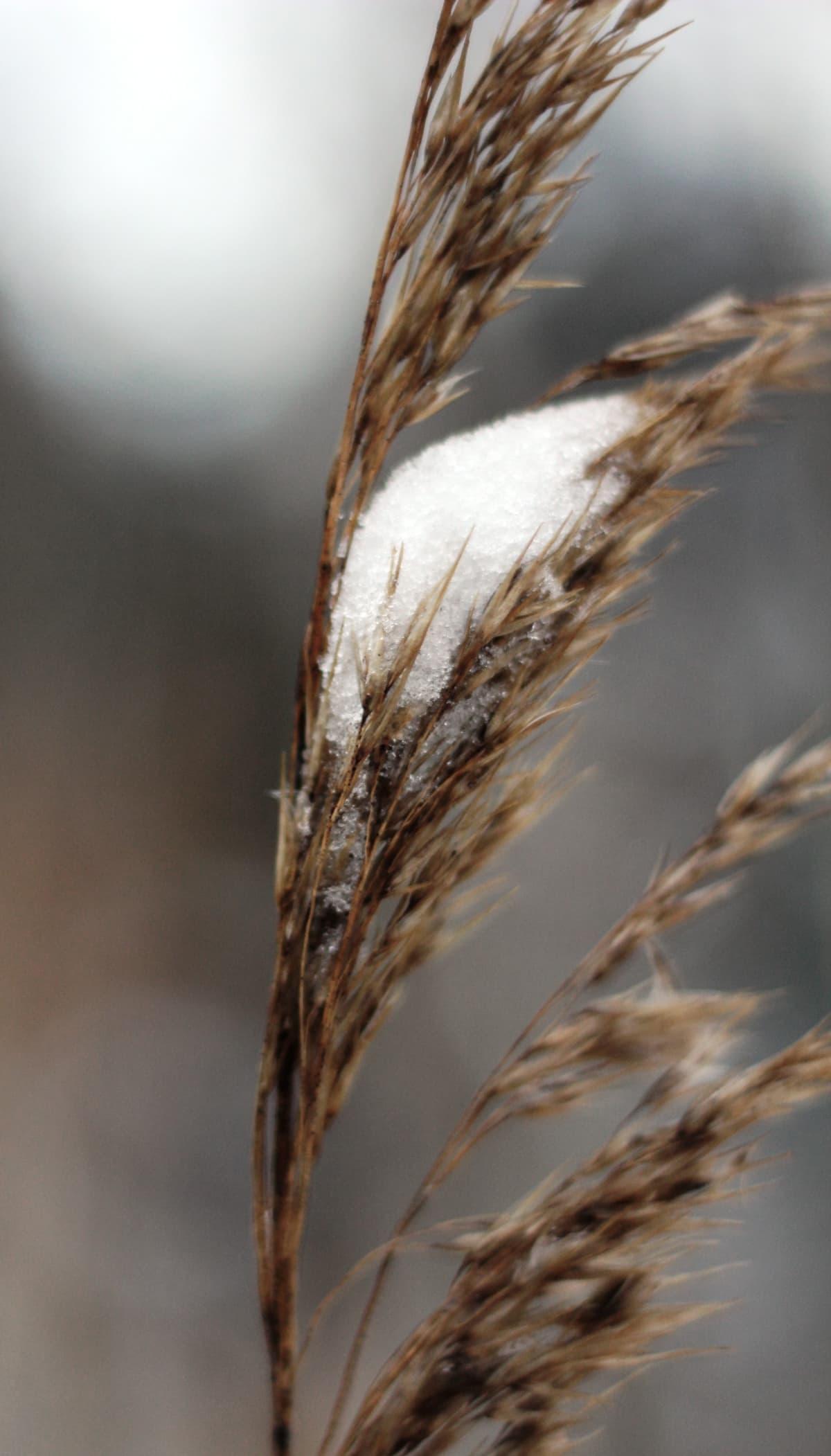 Heinä, jonka päällä vähän lunta
