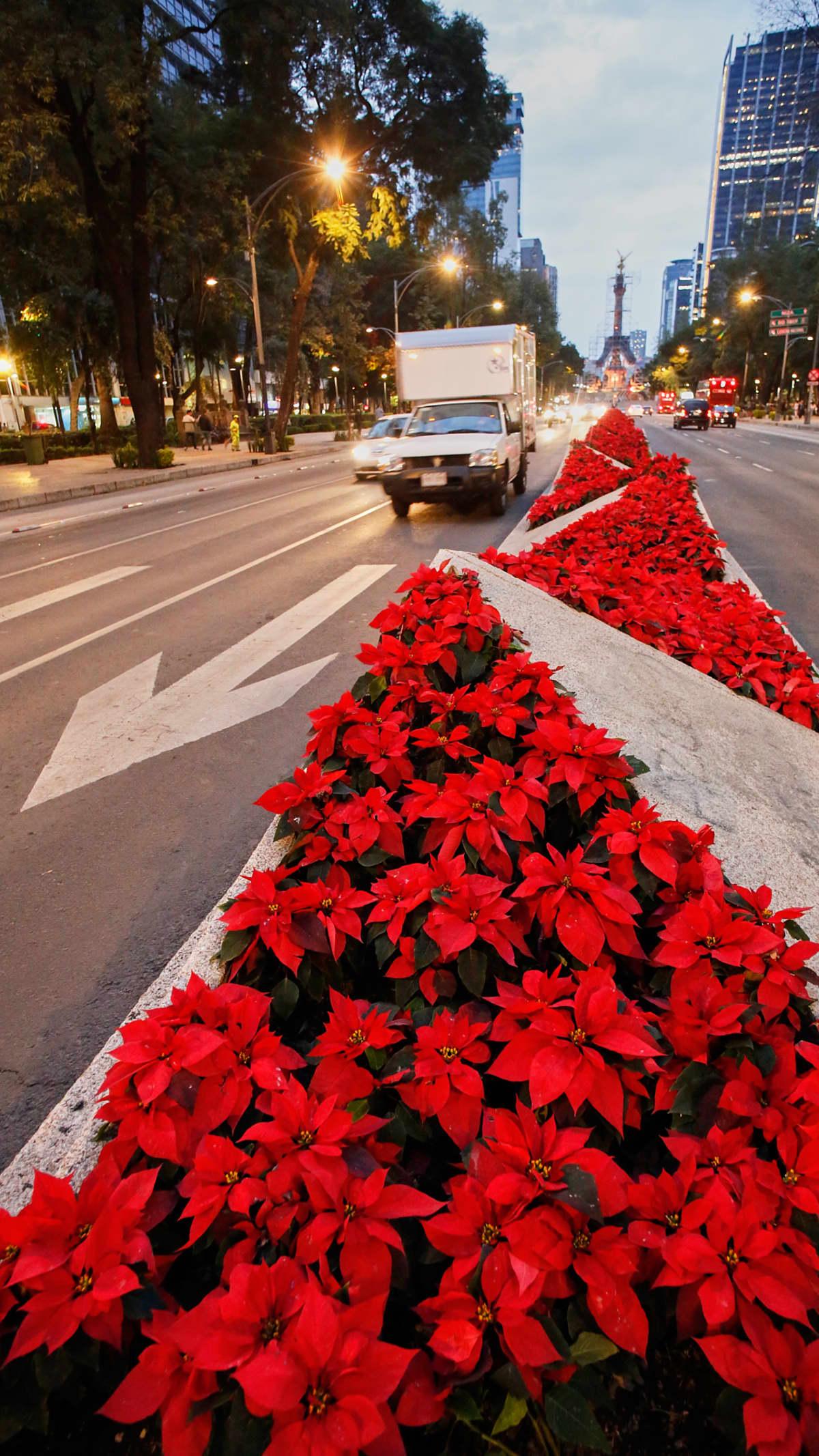 Joulutähti-istutuksia kaupungin kadulla.