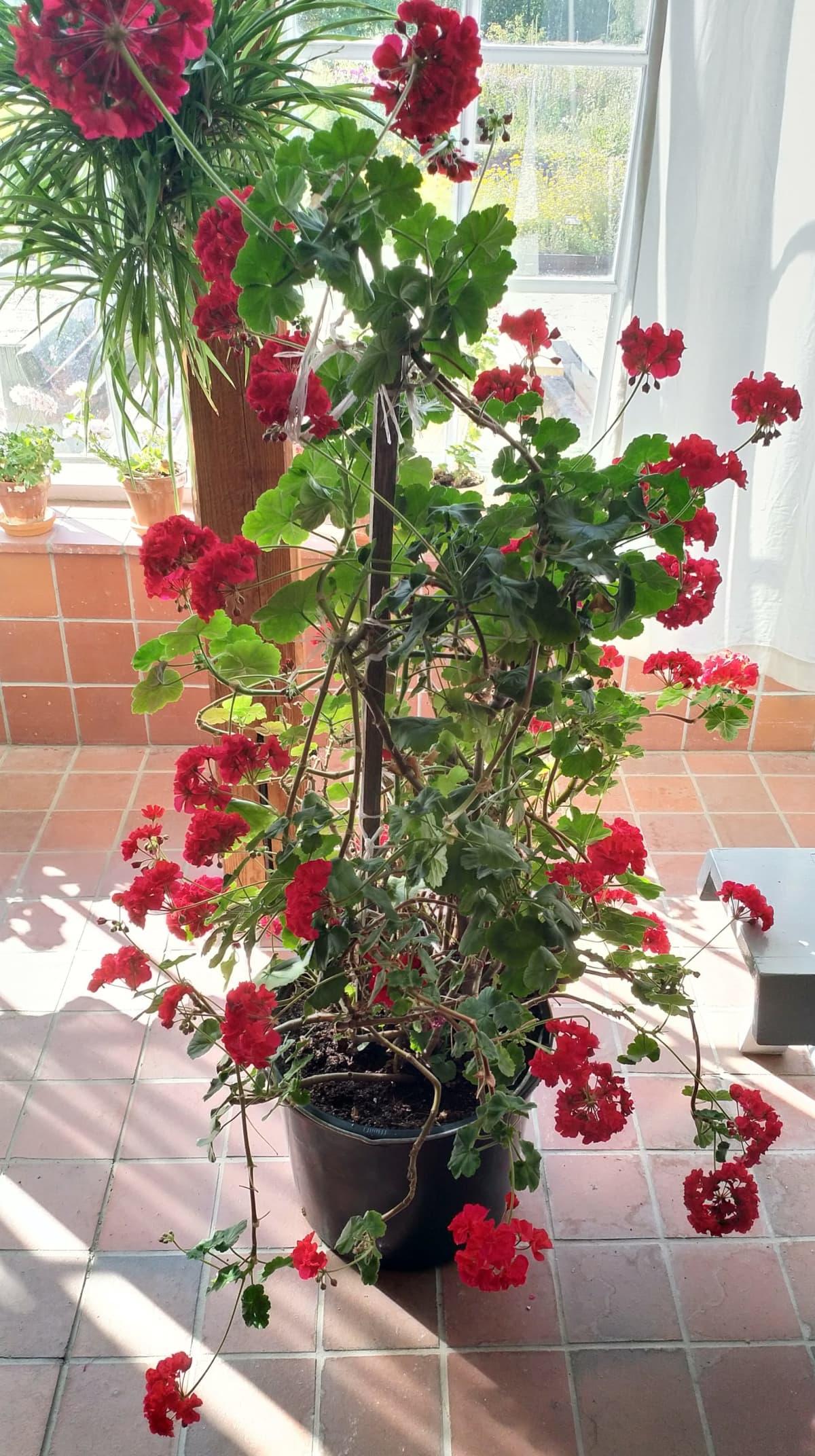 Kuvassa punakukkainen pelargoni Aspegrenin talvipuutarhassa