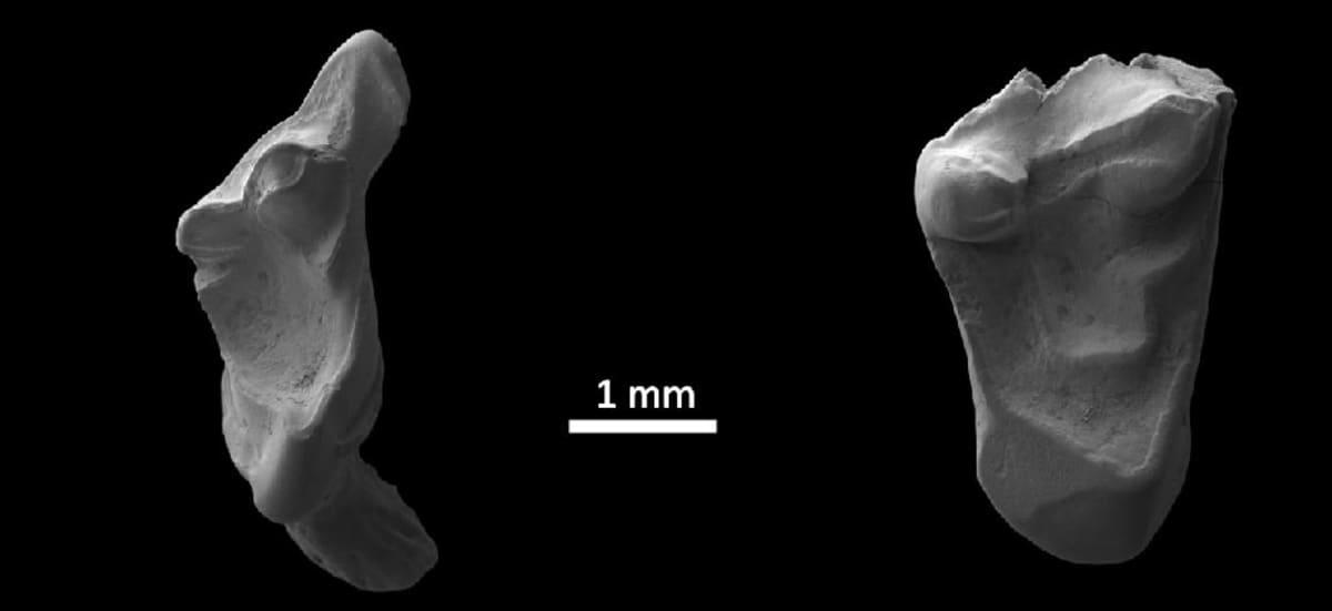 Kaksi hammasta ja mitta, joka osoittaa, että hampailla on leveyttä pari millimetriä.
