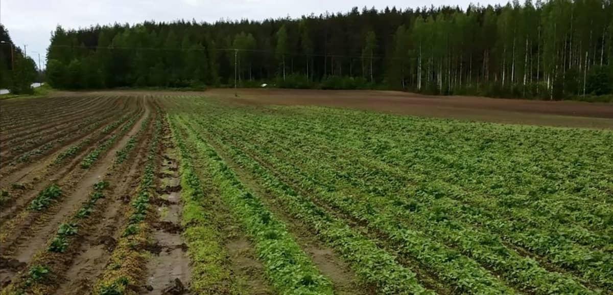 Perunapelto, jossa osassa on tehty rikkaruohojen torjuntaa