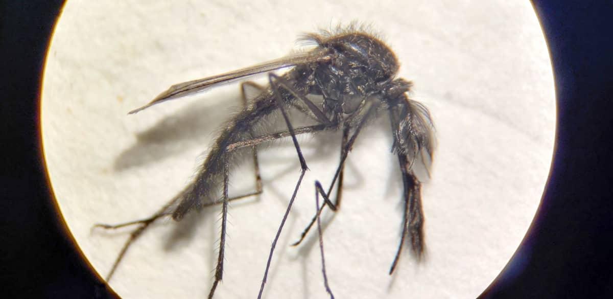Mikroskooppikuva aikuisesta Ochlerotatus nigripes -hyttysestä.