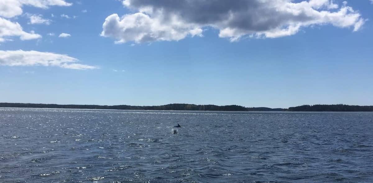 delfiinejä vedessä