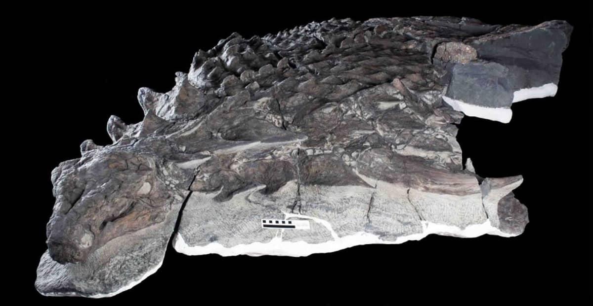 Suomupeitteisen dinosauruksen pää ja eturuumis.