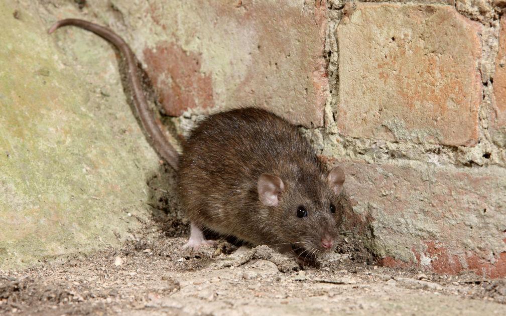Rottaongelma
