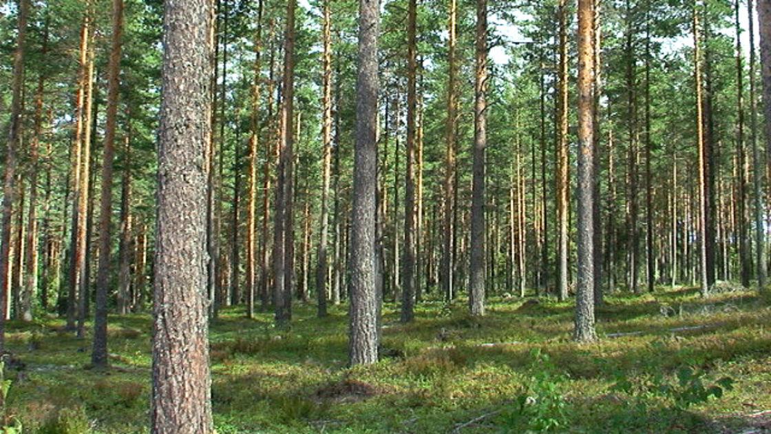 Metsämaan Hinta