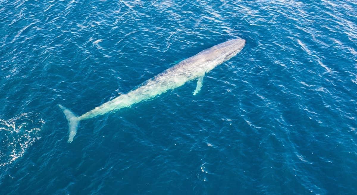 Pitkä valas sinisessä meressä aivan pinnan alla.