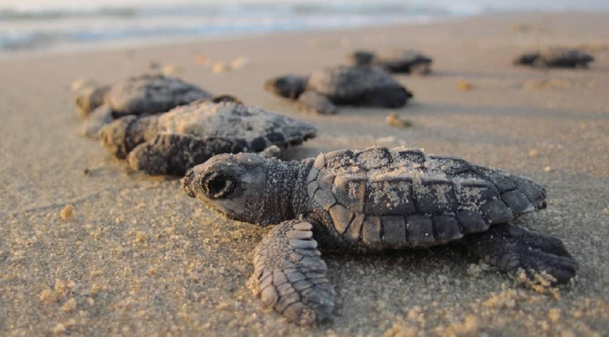Joukko kilpikonnanpoikasia ryömii hiekkarannalla kohti merta.