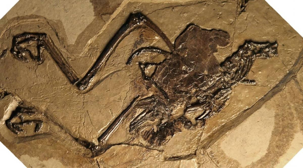 Linnun fossiilista tehty kopio.