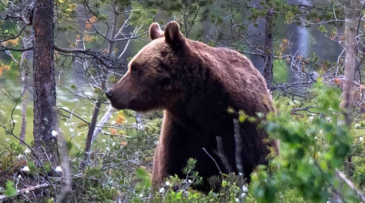 Karhu seisoo varvikossa kitukasvuisten puiden välissä.