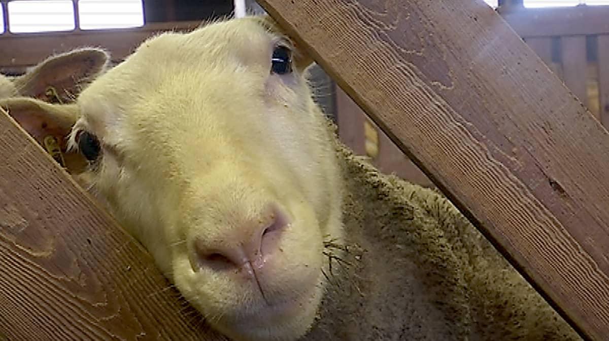 Lammas kurkistaa karsinan raosta.