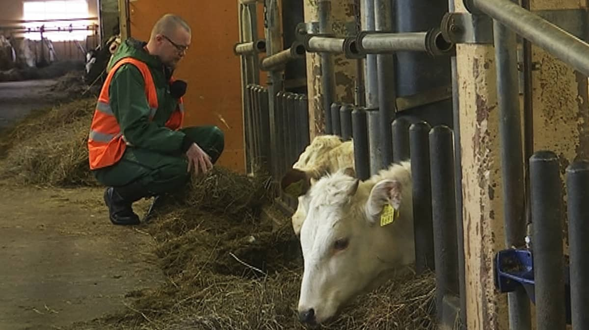 Mies antaa lehmille heiniä Pelson vankilan navetassa.