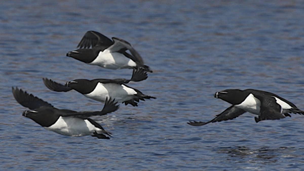 Neljä ruokkia lentää veden päällä.