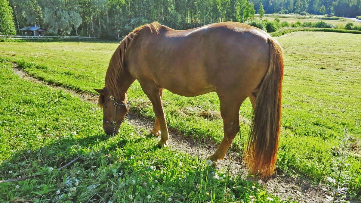 Viesker -hevonen.