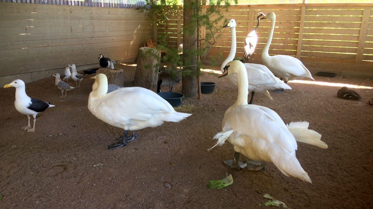 lintuja lintuhoitolan aitauksessa Pyhtäällä, joutsenia, lokkeja