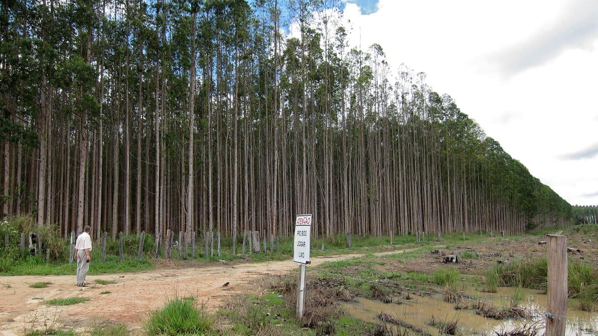 Stora Enson yhteisyrityksen Veracelin puuviljelmiä Bahian maakunnassa Brasiliassa vuonna 2011.
