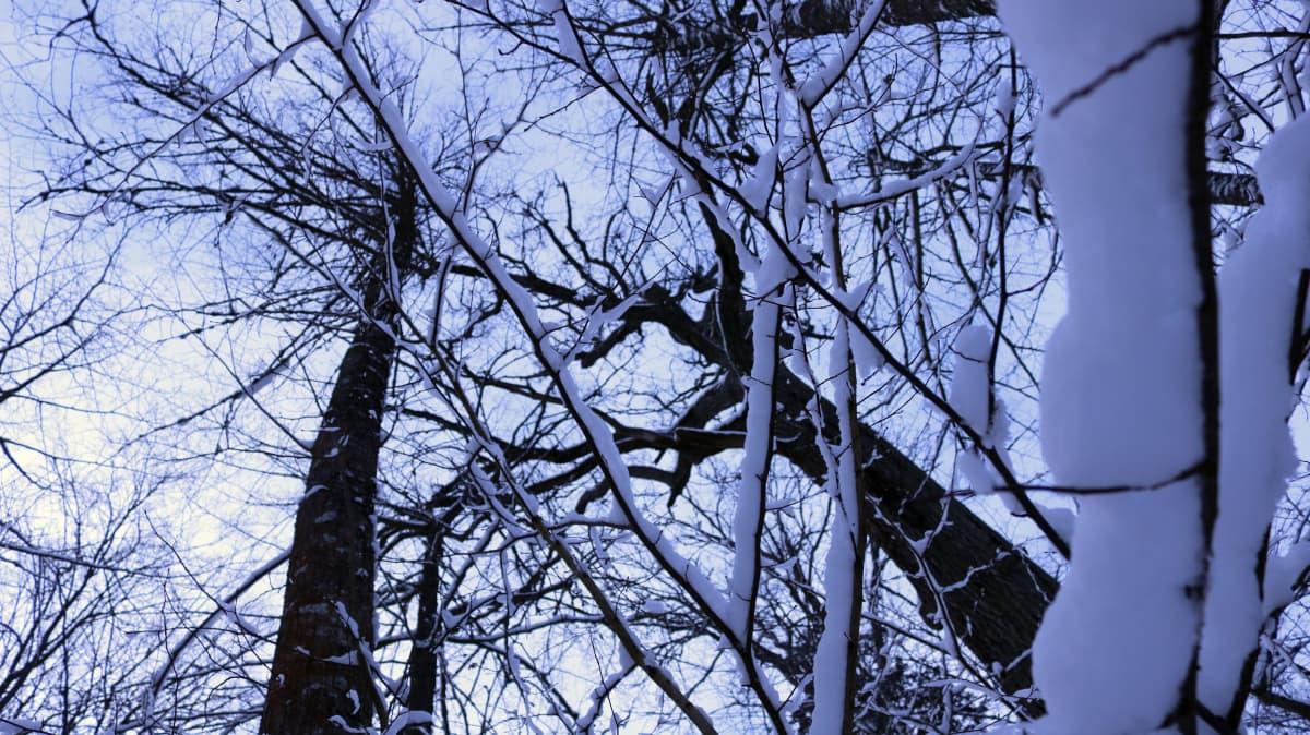 Tammikuun lopussa Białowieżan metsä oli paksun lumipeitteen alla.
