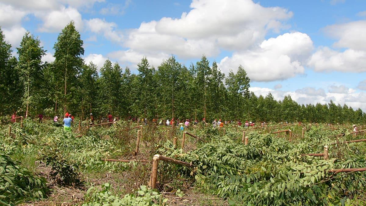 Kaadettuja puita ja ihmisiä puupellolla.