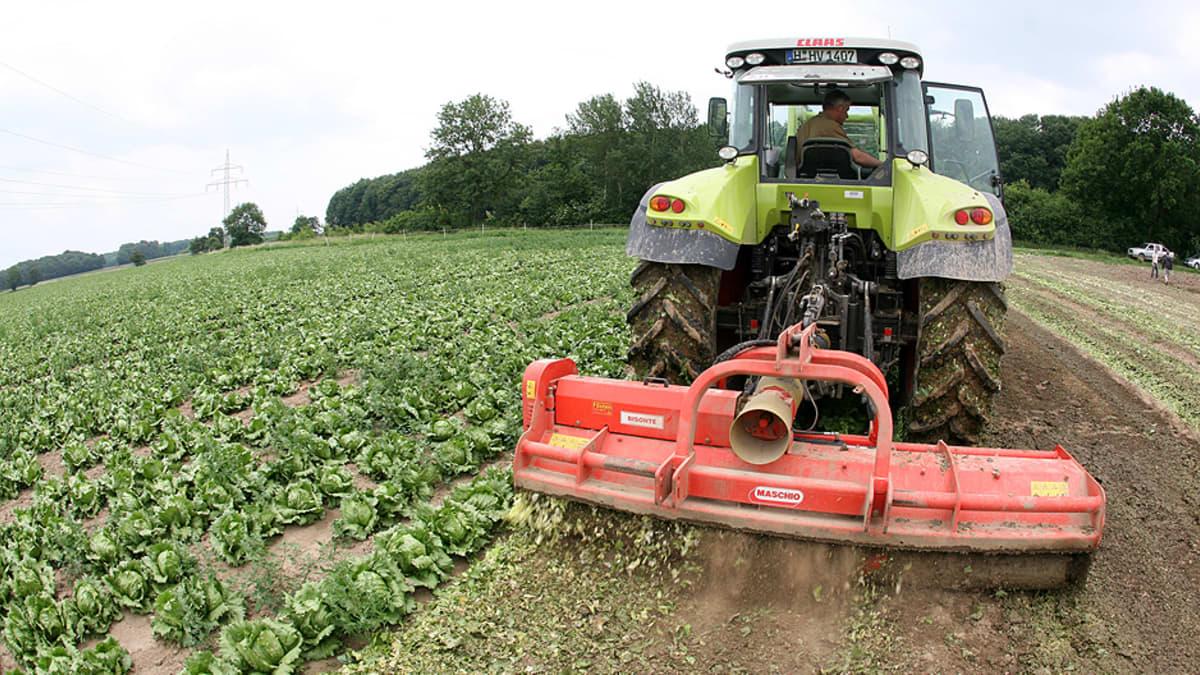 Saksalainen maanviljelijä silppuaa kaalisatoa pellollaan.