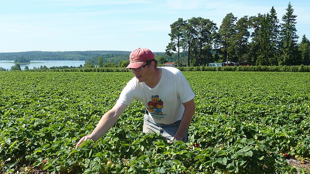 Yrjölän marjatilan isäntä Tommi Yrjölä pelloillaan.