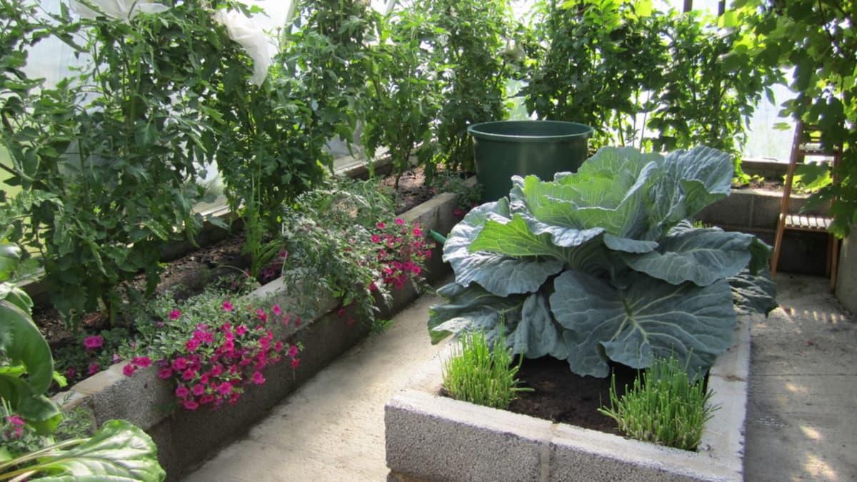 Tuijan muut kasvit voivat hyvin.