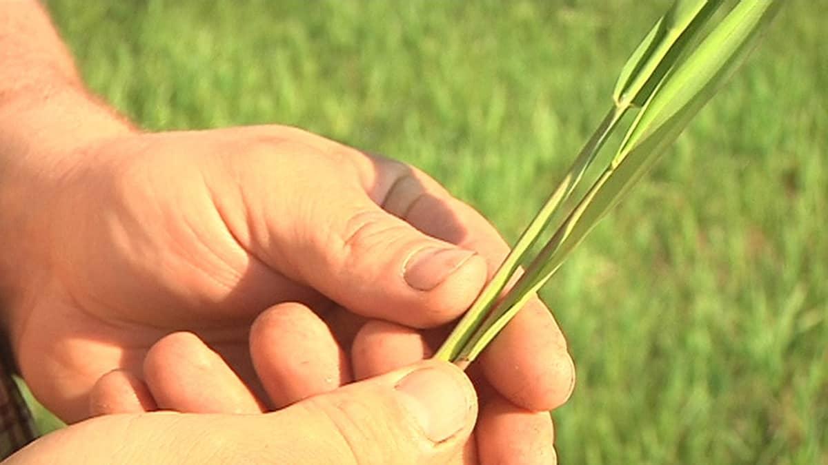 Ruokohelpipellolla kasvi käsissä.