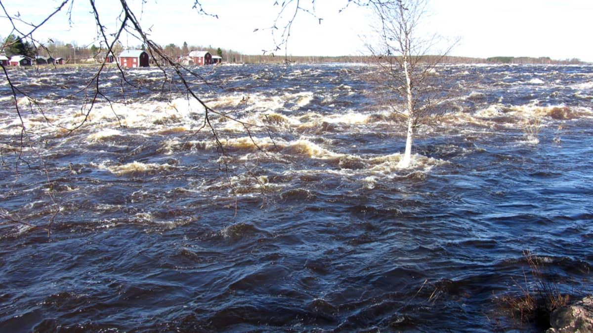 Tornionjoki tulvassa Kukkolankoskella toukokuussa 2012.