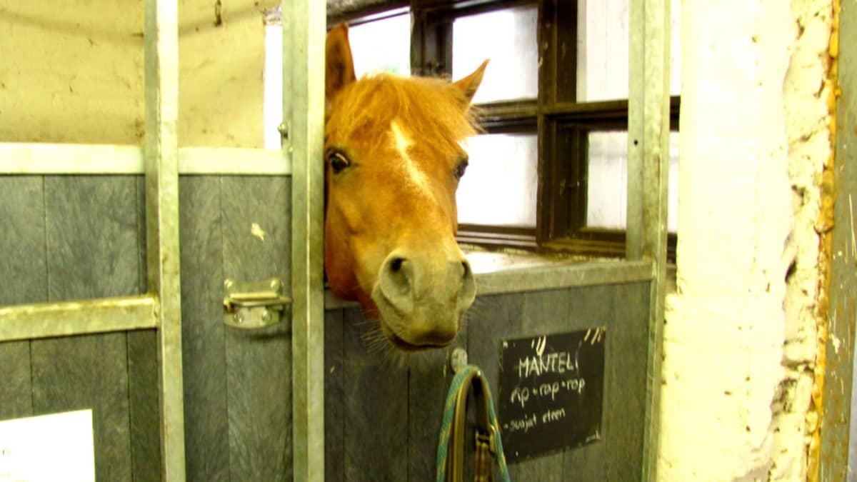 Hevosenpää kurkkaa pilttuusta.