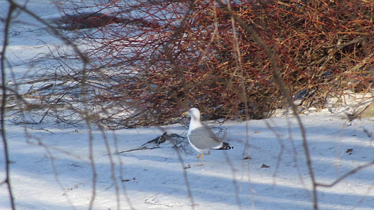 Harmaalokki jäällä tepastelemassa