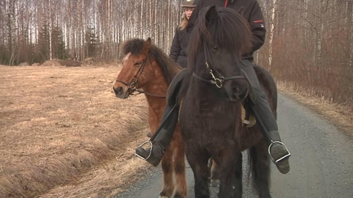 Islanninhevosia ratsastettavana