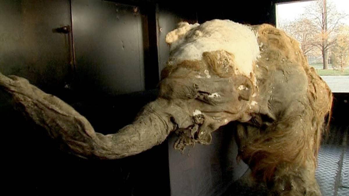 Juka-niminen, 39 000 -vuotta vanha mammutinpoikanen esillä Moskovassa.