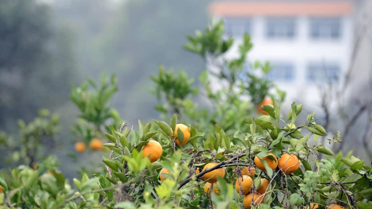 Lingbaon kylä elää appelsiineilla, joita kehutaan maan parhaiksi.