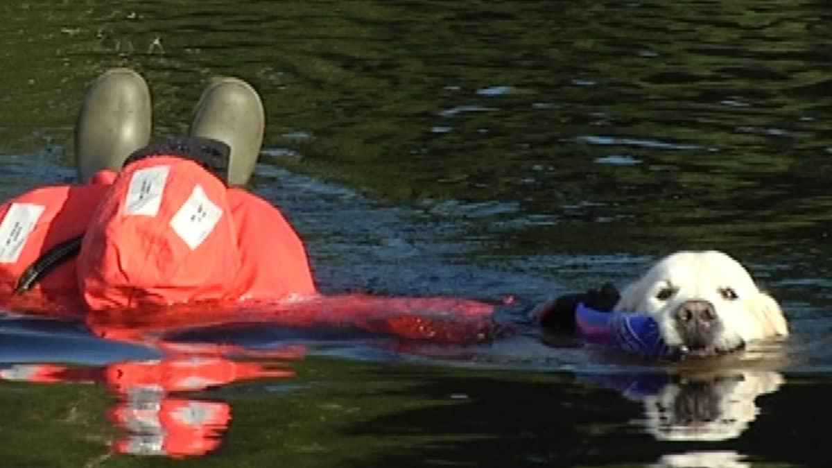 Koira pelastaa ihmistä vesipelastusharjoituksessa.