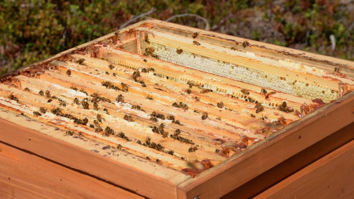Mehiläisiä pesässään.
