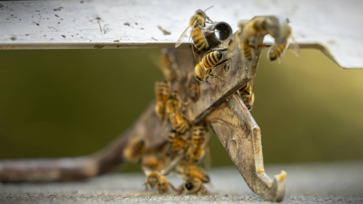Mehiläisiä kiipeämässä työkalun päälle.