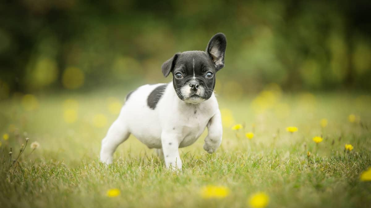 Ranskanbulldogin pentu