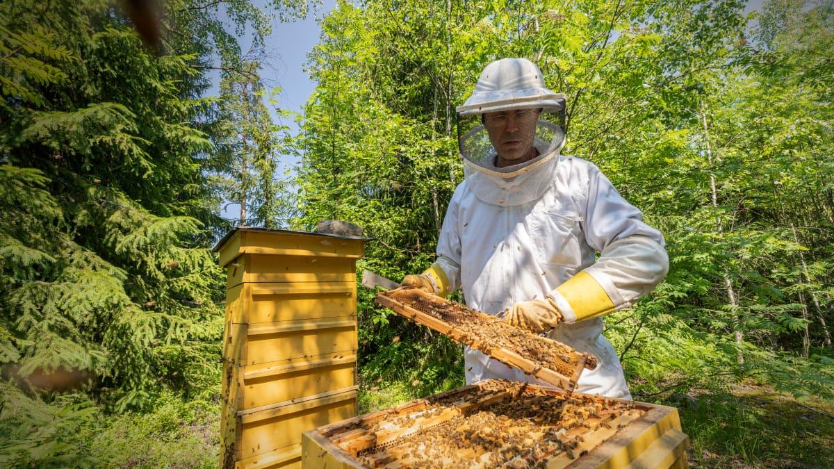Mehiläistenhoitaja Hannu Torkkel tarkastaa mehiläispesänsä kuntoa.