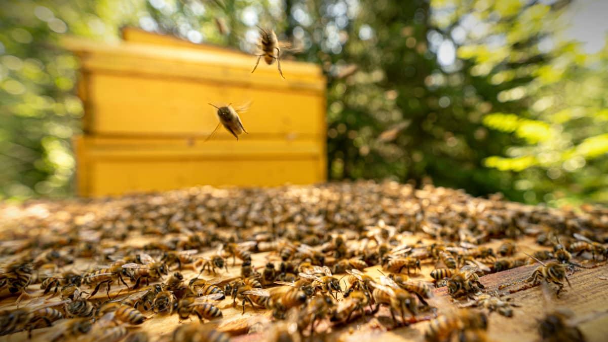 Kaksi mehiläistä lentää kohti kameraa mehiläispesän yllä.