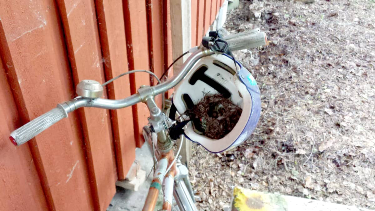 Linnunpesä pyöräilykypärässä.